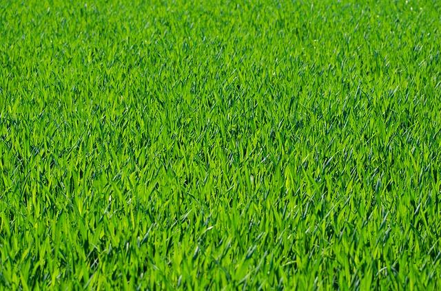 как посадить рулонный газон